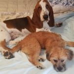 basset hound and terrier on bedsheets