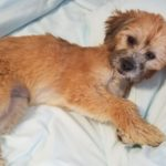 terrier lying on wicking bedsheets